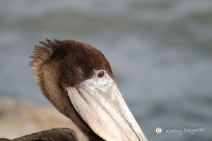 Closeup of a Brown Pelican.