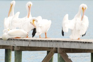 White Pelicans doing some personal grooming on the dock at Rockport Beach.