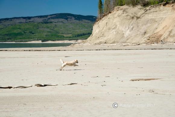 Running the sand at Geddes Bay on Williston Lake at WAC Bennett Dam in Hudson's Hope, BC