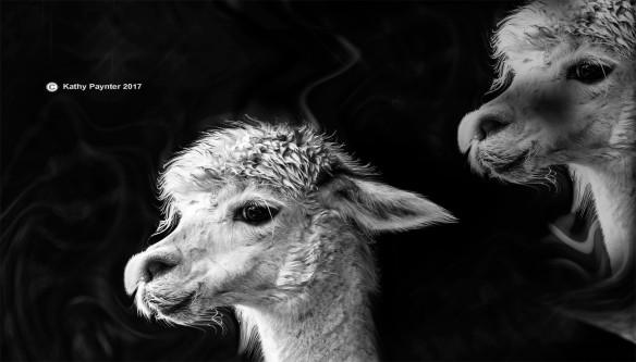 Alpaca K75_3854-2IN