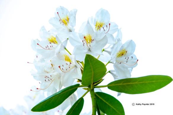 White Azalea K75_9600IN
