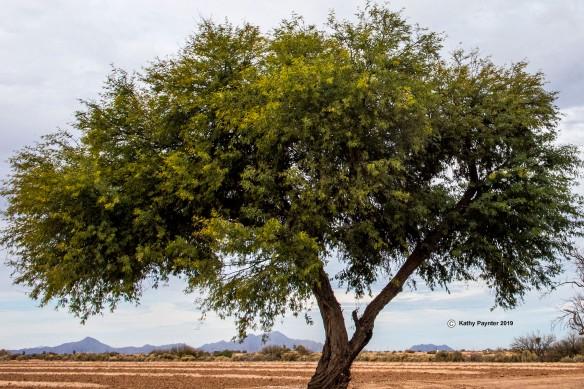 Tree K75_0439IN